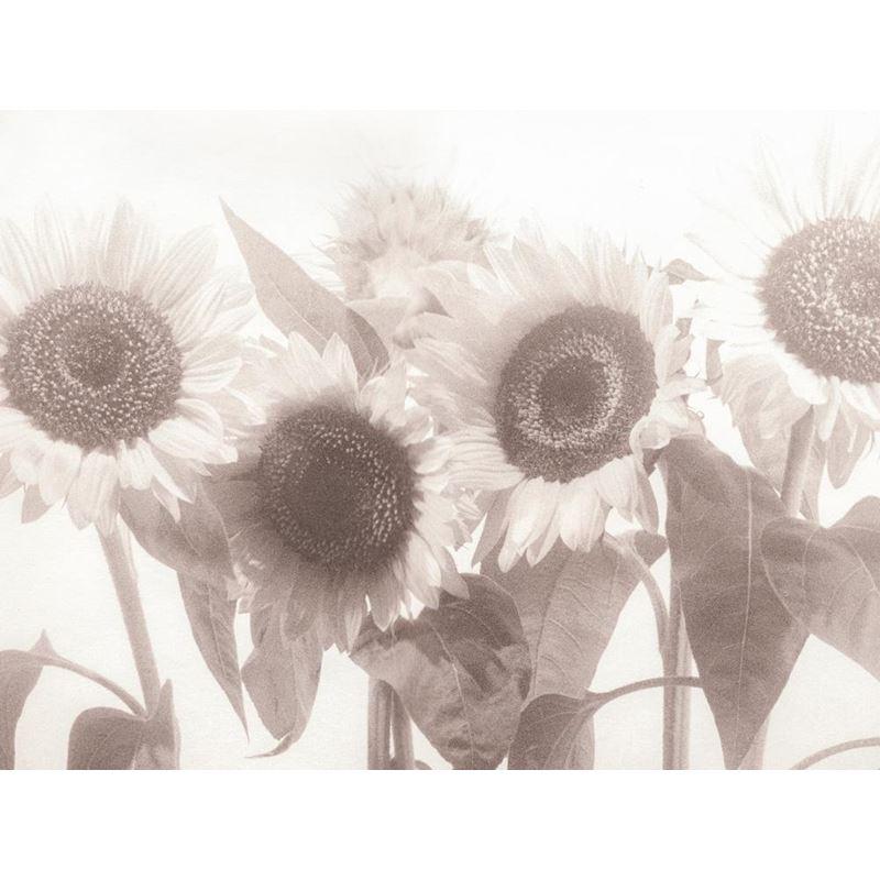 Sunflower Sunflower Sepia KG102-04 Type II